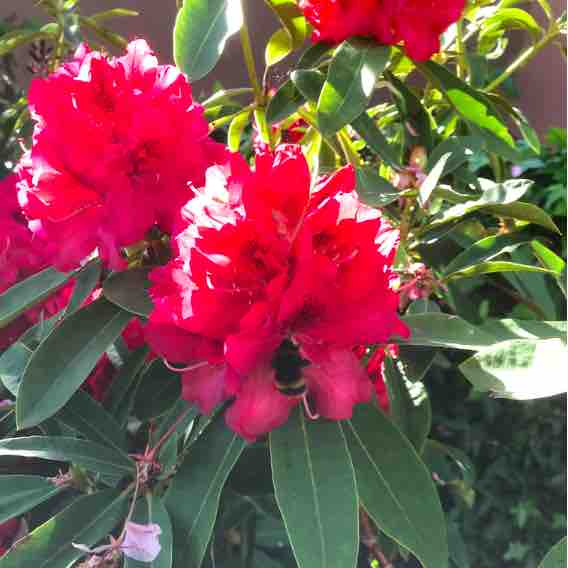 bumblebee on red rhododendron