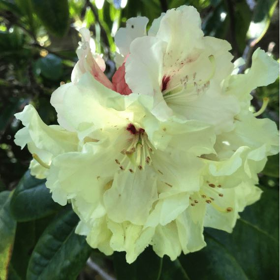 rhododendron yellow
